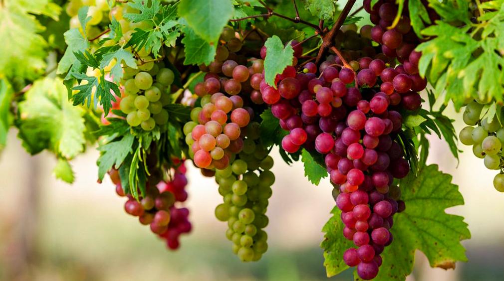 انگورهای ایران